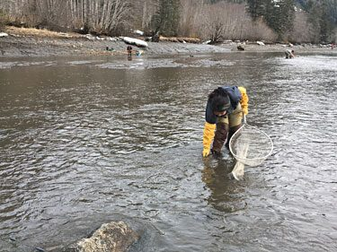 First Nations harvesting eulachon on the Skeena River. Photo credit: Penny White.