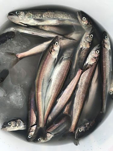 A bucket of eulachon on ice. Photo credit: Penny White.