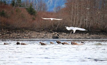 The eulachon run attracts other species like sea lions and gulls to the Skeena River to feed. Photo credit: Allison Paul.