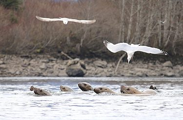 Sea lions and gulls in the Skeena River. Photo credit: Allison Paul.