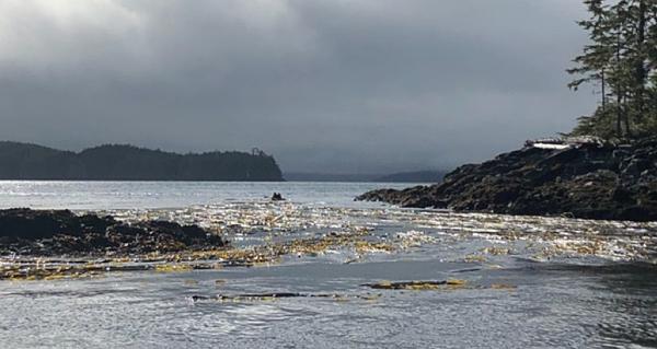 kelp-bed